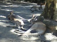 photo/kangaru